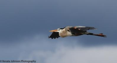 Great Blue Heron Twin Lakes