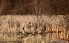 Sunrise Goose in Marsh
