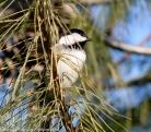 Chickadee on a Stick