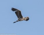 Blue Heron Flight Sunrise I