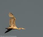 Blue Heron Flight Sunrise