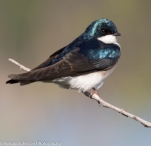 Coy Tree Swallow on a Stick