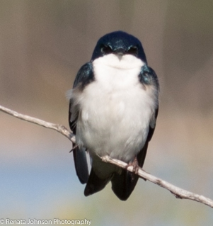 Tree Swallow Focused