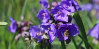 Chain of Irises-1